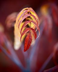 Sumac (CorkyOrca) Tags: autumn red orange tree fall yellow digital colorado fallcolors longmont olympus sumac co 50200mm zuiko e30 swd pinholefilter colorfulleaves f2835 artfilter