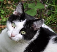 (Marco Zuffada) Tags: animal cat chat felino gatto animale micio