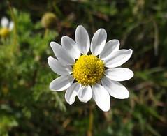 Dog Fennel Flower Close up (corey.raimond) Tags: wisconsin whiteflower flora wildflower asteraceae chamomile dogfennel anthemiscotula