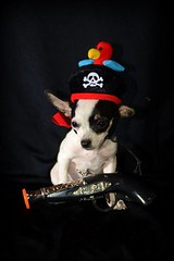 Chihuahua Pirate (kristi_Nikon_D1X) Tags: dog chihuahua puppy pirate petportrait dogincostume