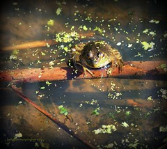 Straight on frog (lynne_b) Tags: autumn reflection fall nature water animal creek illinois pond midwest branch seasons amphibian frog perch wilderness creature limb duckweed waterreflection