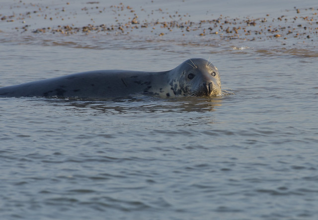 blakeney grey seal in water 3