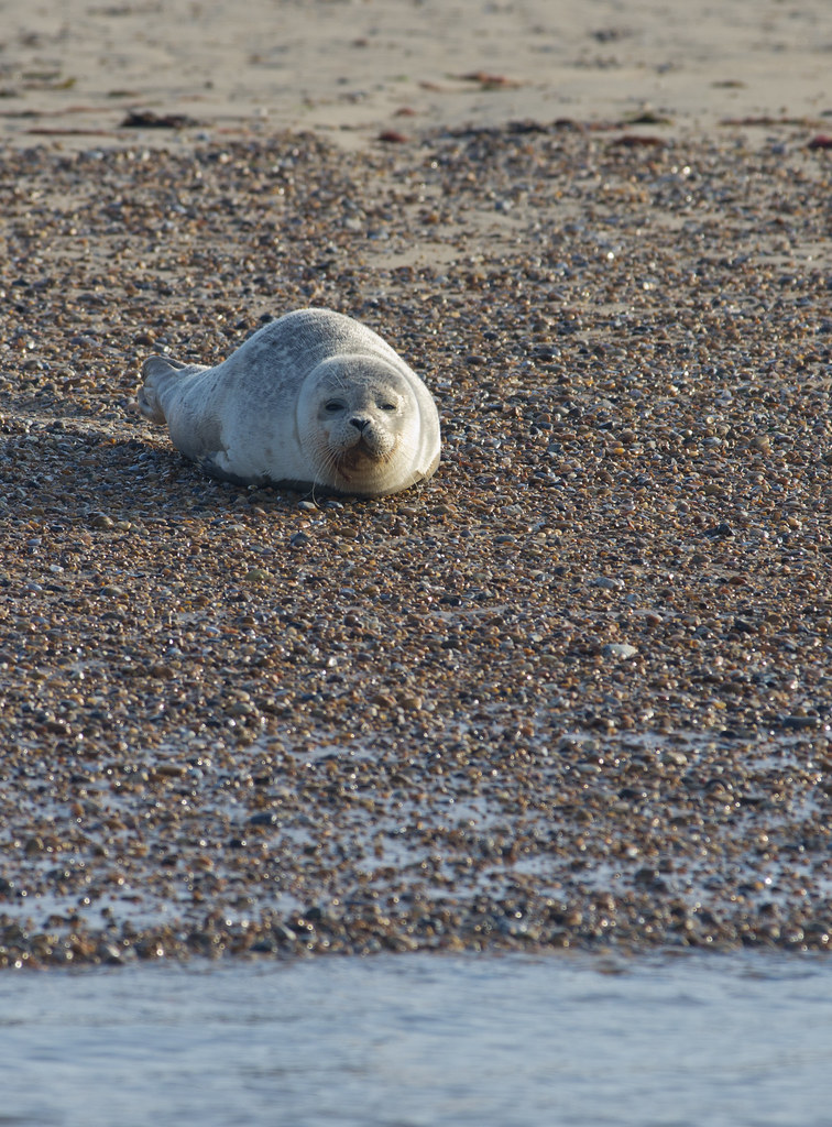 blakeney common seal on beach head on