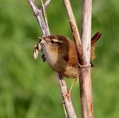 The Return of The King (Ger Bosma) Tags: wren zaunknig troglodytestroglodytes winterkoning winterkoninkje chochn troglodytemignon doubleniceshot mygearandmediamond dblringexcellence scricciolocomune flickrstruereflection3 img24987