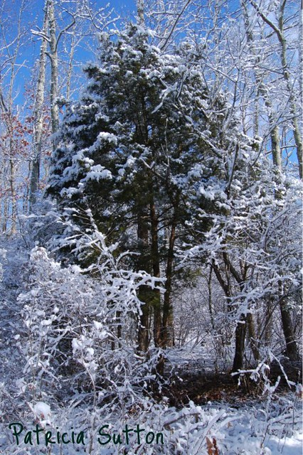 002 - RedCedar in snow-2-4-09
