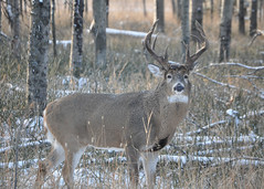 New Heavywieght Champion (westfortwarbler) Tags: buck whitetaildeer nontypical