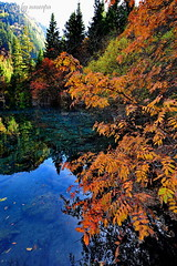 Autumn Everywhere (nawapa) Tags: china travel autumn lake flower color tree landscape ancient view five scenic valley fallen trunk sichuan jiuzhaigou 2011 nanping nawapa