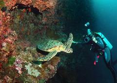 Turtle in the frame (gillybooze (David)) Tags: underwater turtle malaysia diver sipadan sunkentreasureaward mygearandme mygearandmepremium mygearandmebronze mygearandmesilver mygearandmegold mygearandmeplatinum mygearandmediamond madaleundewaterimages