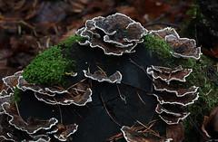Trametes versicolor (Shandchem) Tags: scotland perthshire fungi versicolor trametes