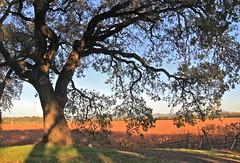 Old Oak Tree (**El-Len**) Tags: california autumn color tree fall vineyard oak explore winecountry fav10 explorewinnersoftheworld thegalleryoffinephotography thebestofmimamorsgroups tnebestofmimamorsgroups