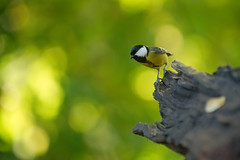 Msange charbonnire, great tit (Zed The Dragon) Tags: wild bird speed jaune french geotagged rouge effects photography photo flickr tits minolta photos bokeh sony main vert full frame gorge fullframe alpha antony animaux parc postproduction f28 franais greattit sal zed oiseaux francais sceaux lightroom effets msange 200mm iso1250 parcdesceaux 24x36 a850 0003sec sonyalpha hpexif alpha350 minoltaapo 80200apog parcsceaux dslra850 alpha850 zedthedragon minoltaapo80200hs charbonnire