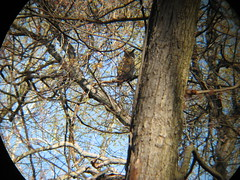 Great Horned Owl (Prophecy Creek Park) (stinkenroboter) Tags: greathornedowl bubovirginianus