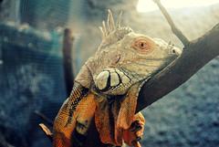 holo (Conisaurus) Tags: chile santiago animal ojo foto colores iguana zoolgico felicidad marzo 2012 reptil piel diabacano