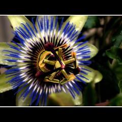 Passiflora II (Katinka F) Tags: passiflora blau blume blte passionsblume greatphotographers flickraward awesomeblossoms flickraward5 mygearandme mygearandmepremium mygearandmebronze mygearandmesilver mygearandmegold blinkagain bestofblinkwinners blinkagainsuperstars blinksuperstars