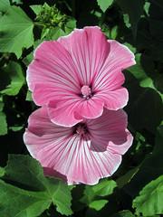For my mother... (by_irma) Tags: birthday pink flower verjaardag frankrijk 86 roze bloem formymother 07071925