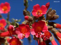 La cantuta - Flor Nacional del Perú (ISKILLANI) Tags: titicaca kantuta cantuta floresandinas flordelosincas flordelperutiticacacantutakantutafloresandinasflorsagradadelosincasflordelperu