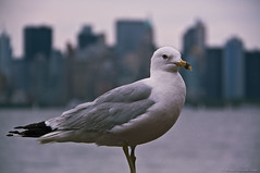 seagull (Murugesh Semporul Alagan) Tags: new york monument statue brooklyn digital canon square lens liberty island eos rebel harbor is photographer bronx manhattan richmond midtown queens kings national jersey times kit efs staten xsi the libery 18200mm murugesh f3556 450d alagan semporul
