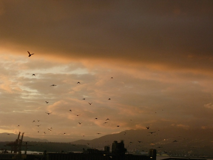 vancouver crow migration 001