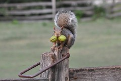 Stocking up for Winter (janetfo747 Year of the Horse!) Tags: winter wild animal fence garden squirrel post gray nuts explore nut stocking hitching varmint forage mygearandme mygearandmepremium mygearandmebronze williamsburgva201110