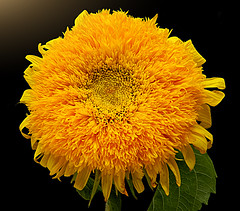 Teddy-Bear Sunflower (*Gitpix*) Tags: flowers flower color macro nature closeup petals nikon blossom natur blumen explore sunflower coolpix blume makro blte asteraceae bltenbltter farben sonnenblume blten teddybearsunflower explored explorefrontpage helianthusannusteddybear teddybrsonnenblume