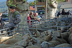Transhumance (Seix/Arige/Pyrnes) (PierreG_09) Tags: cochon mouton vache pyrnes pirineos berger arige brebis transhumance troupeau seix couserans