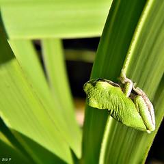 Frog In Palmetto Maze