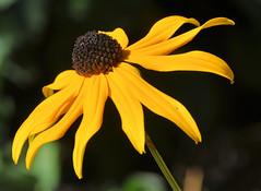Black-eyed Susan (Pat's Pics36) Tags: yellow britishcolumbia side blackeyedsusan abbotsford yellowandblack milllake nikond90 nikkor18to200mmvrlens