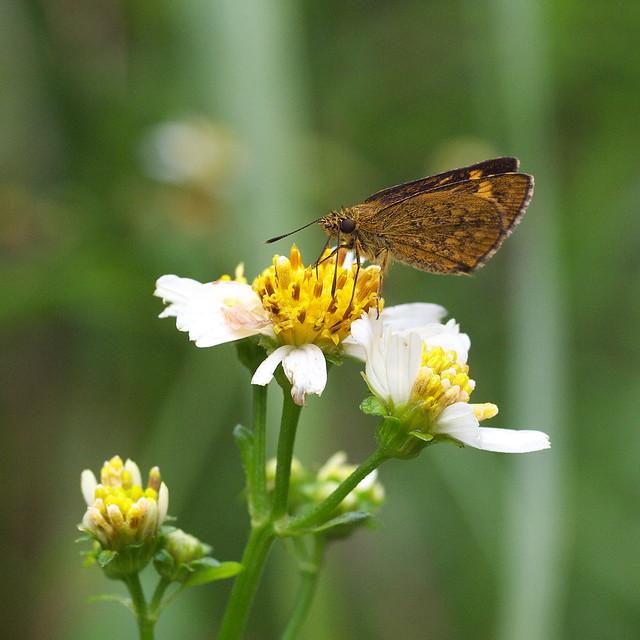 狹翅黃星弄蝶