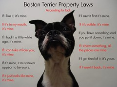 "Oct 20 2011 [Day 354] ""Boston Terrier Property Laws..."" (James_Seattle) Tags: dog boston puppy jack bostonterrier october sony cybershot 365 year1 jackjack dscf717 2011 sonycybershotdscf717 jamesseattle propertyrules accordingtojack"