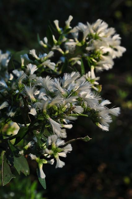 Baccharis halimifolia (2)