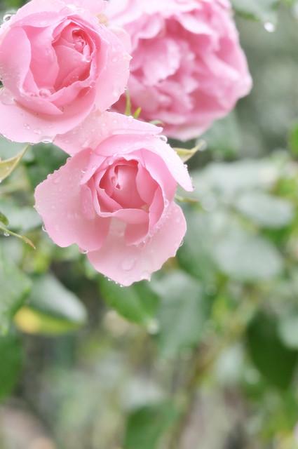 Rose with rain 3