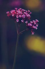 little beauty (diiiivya) Tags: uk flowers cambridge england beauty small tiny colourfull