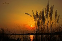 An Autumn Sunset.... (Z A Y A N) Tags: autumn sunset flower silhouette sunrise canon photography eos golden twilight seasonal catkin bangladesh boatman 18mm southasia zayan autumnsunset 550d autumnseason t2i beautifulbangladesh rebelt2i kissx4  zayan1904 gettyimagesbangladeshq12012