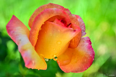 Rose Drop.