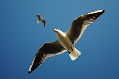 Playing with wind (heddea) Tags: sky seagulls nature birds nikon