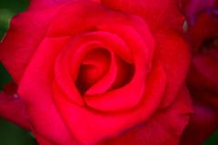 Autumn Roses (stuckinseoul) Tags: canoneos550d canoneoskissx4 canoneosrebelt2i flowers korea olympicpark seoul sigmaaf70300mmf456apodgmacro asia southkorea photo photography 한국 대한민국 서울 아시아 올림픽공원 park 공원 canon 캐논550d stuckinseoul flower 꽃 republicofkorea photos 사진 올파크 올림픽파크 코리아 nature citypark asian beautiful stunning photograph landscape geotagged lens cool gorgeous interesting travel world fabulous photojournalism photojournalist stock quality highquality background image stockphoto forsale