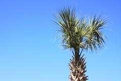 Palm Tree on Blue (A Vacation Photo Series!) (PaPeR.cLiP) Tags: sun beach nature beautiful grass weather myrtlebeach sand southcarolina sunny shore seashore