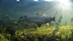 Confused Giant (Fish as art) Tags: winter fish canada water nikon schwimmen north fisch rapids arctic cisco northwestterritories migration spawning whitefish poisson current vendace yellowknife kleine underwaterphotography schoolingfish flir fiskur yellowkniferiver coridoras ikelite fishschool stromschnellen stryk  unterwasserfotografie sielawa undervannsfotografering lagesild dipesce podvodou lakewhitefish vedenalainen coregonids ciscoes whiefish heltling coregonusartedi nikoncanadakanada elvafisk neansjvar  undervattensfotografering vzalattifotzs