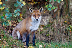 20111029-_W9H7369 (asbimages.co.uk) Tags: nature animal wildlife fox foxes redfox vulpesvulpes vulpes