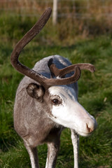 IMG_8865 (Bri74) Tags: animals norway reindeer rangifertarandus