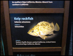 It wasn't a rock, it was a rockfish!