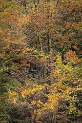 Strid Wood (rgarrigus) Tags: autumn trees england leaves forest landscape colorful yorkshire foliage beech stridwood wharfedale riverwharfe brightlycolored greatphotographers garrigus robertgarrigus robertgarrigusphotography