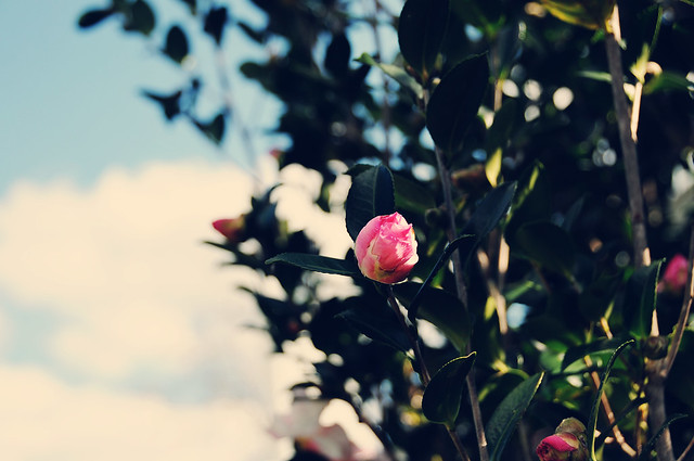 vintage camellia