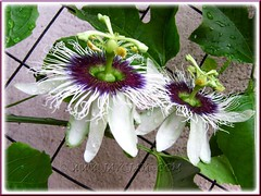 Flowering Passiflora edulis (Purple Passionfruit, Purple granadilla) with twin beauties