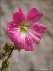 Dernière rose trémière