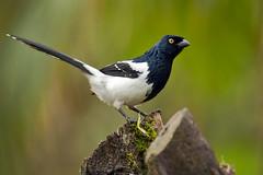 Cissopis leverianus (Techuser) Tags: brazil bird nature animal rainforest parquedozizo canon300mmfluorite28fd