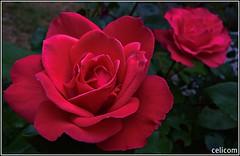 (celicom) Tags: macro flor rosa mimamorflowers