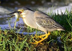 Green-backed Heron (Butorides striata) (Ian n. White) Tags: botswana greenbackedheron striatedheron butoridesstriata gabarone