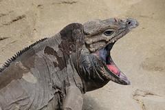 Rhinoceros Iguana (Leo Reynolds) Tags: animal canon eos zoo reptile 300mm iguana 7d f80 rhinoceros iso320 0003sec hpexif leol30random xleol30x xxx2011xxx
