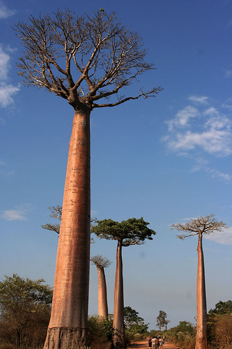 Baobab Alley, Morondava by peace-on-earth.org